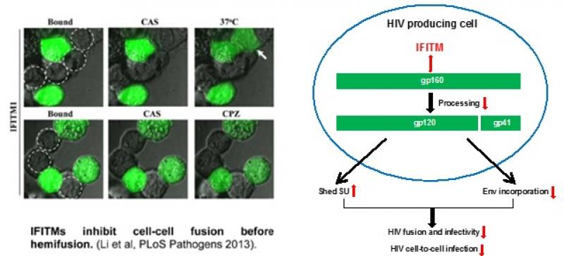 IFITMs-Inhibit-Cell-HIV-Producing-Cell