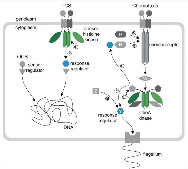 Signal Transduction in Bacteria
